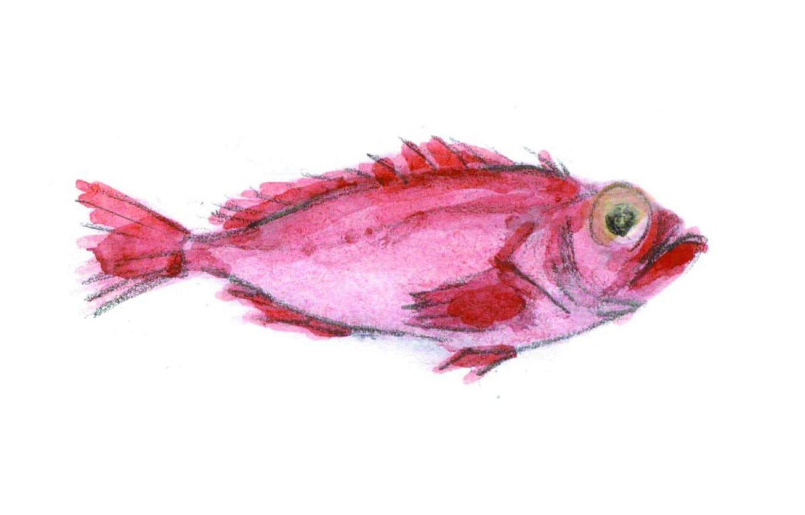 Le Saint-Laurent regorge de poissons méconnus, souvent pêchés en même temps que les poissons de fond.