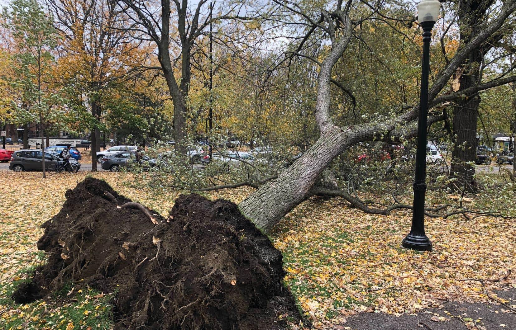 Des vents violents soufflent sur le sud-ouest du Québec, comme en témoigne cet arbre déraciné au parc Molson, à Montréal.
