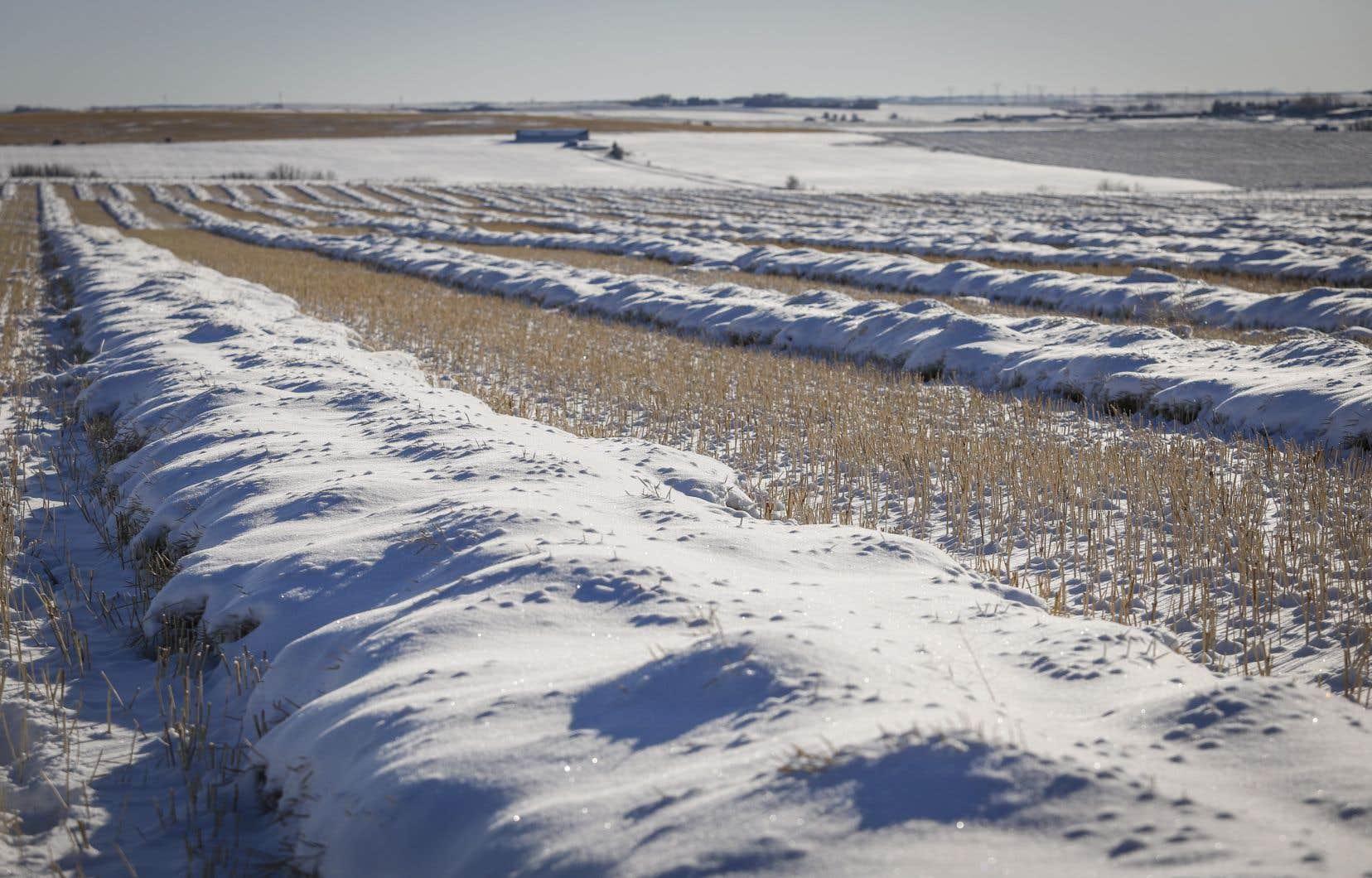 Près de 10% des superficies de soya sont maintenant ensevelies sous la neige sans avoir été récoltées. Sur la photo, un champ en Alberta.
