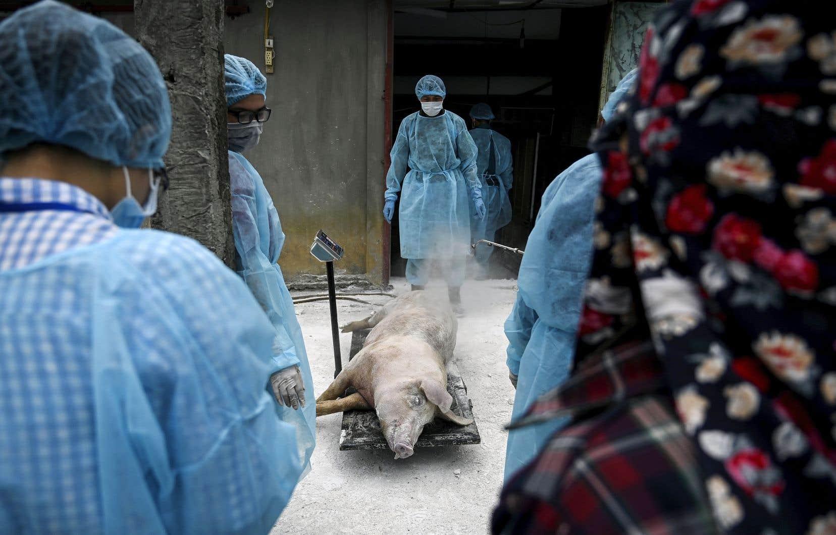 Des vétérinaires pesant un cadavre de porc à Hanoï, au Vietnam, en mai dernier. La peste porcine africaine fait des ravages en Chine et ailleurs en Asie depuis plus d'un an.