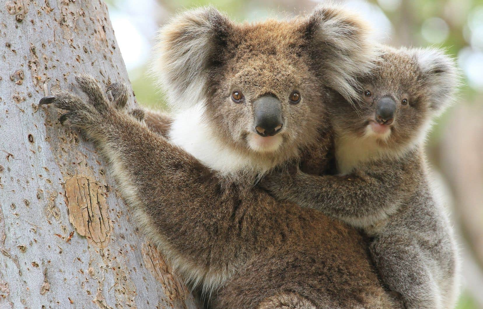 La présidente de l'Australian Koala Foundation (AKF), Deborah Tabart, avance que plus de 1000 koalas auraient péri dans les feux de brousse depuis deux mois.