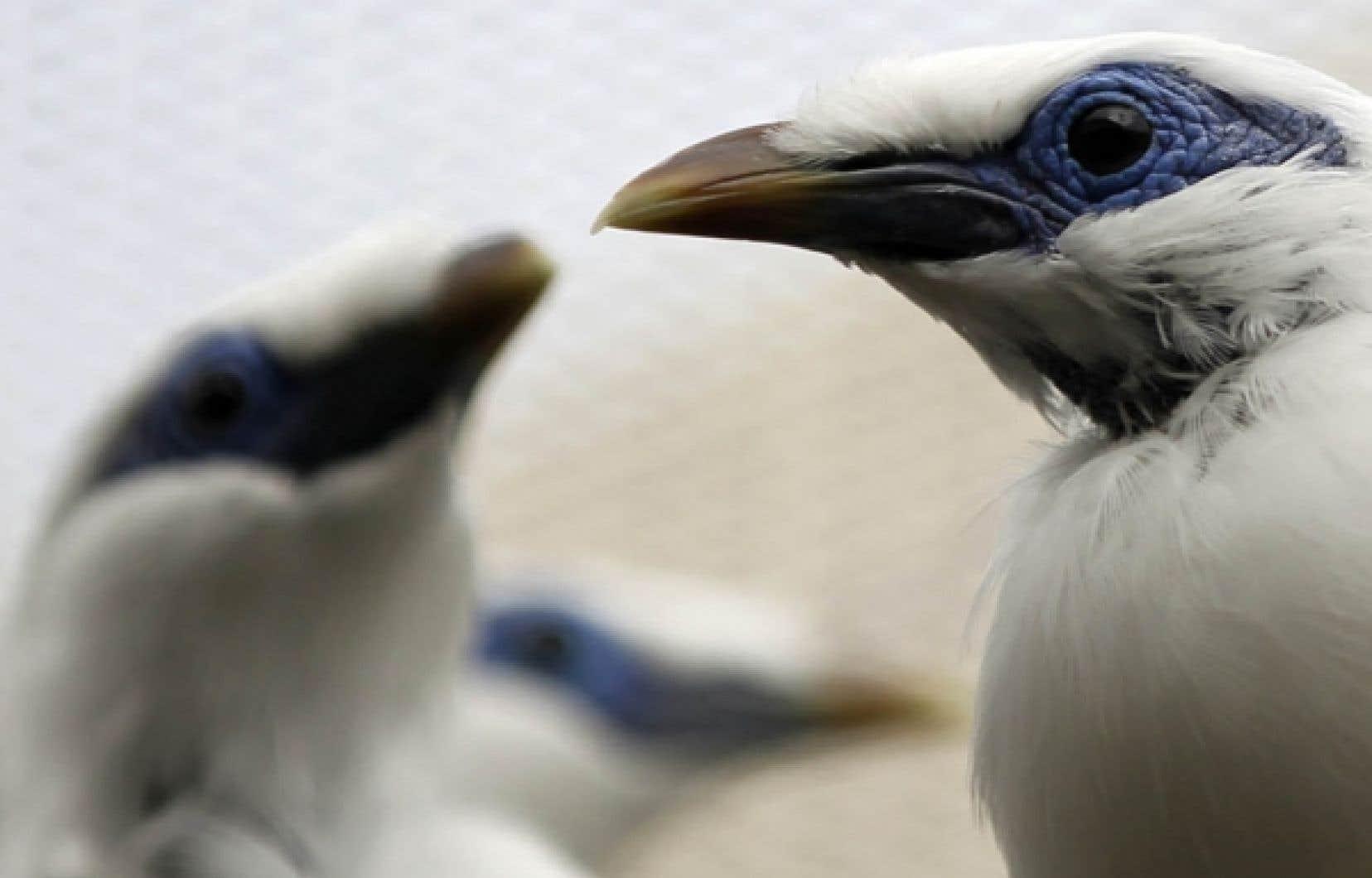 L'étourneau de Bali fait partie des espèces en voie d'extinction. Ces deux volatiles sont gardés au centre de recherche et de préservation de Yokohama, à l'abri du public.<br />