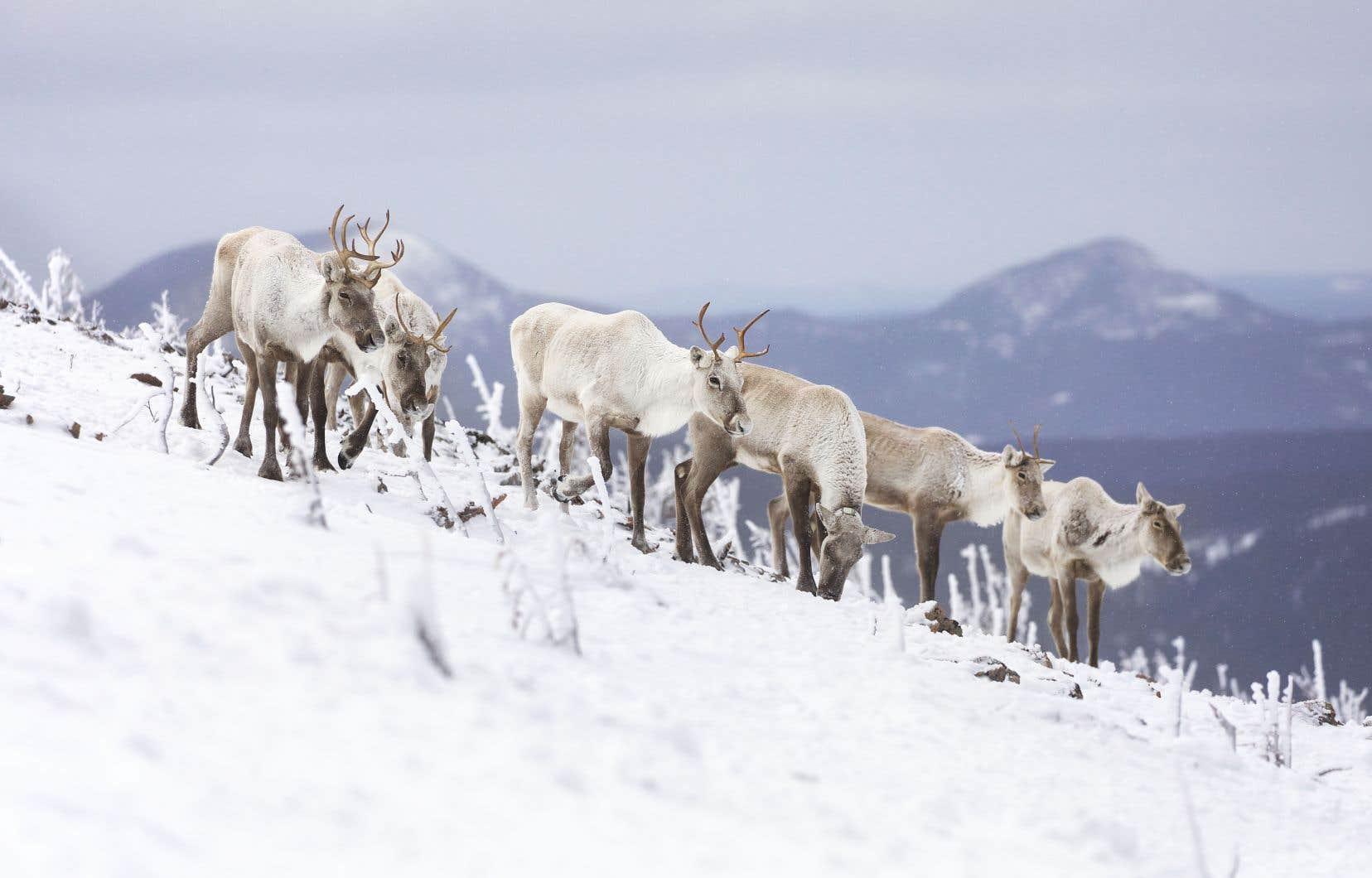 Certaines populations de caribous forestiers, comme celle de la Gaspésie, sont carrément au seuil de l'extinction.
