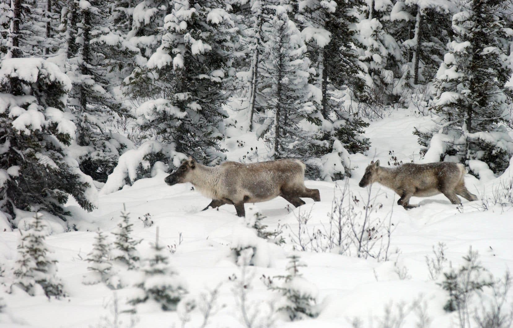 Il est vital d'assurer un habitat propice au caribou, pour le protéger des prédateurs.