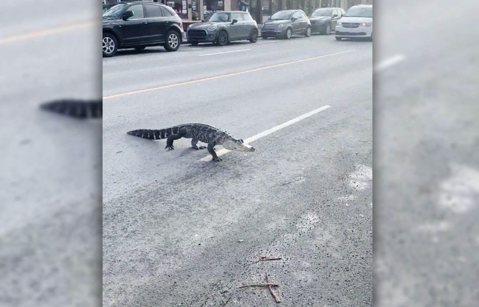 Une internaute a publié une vidéo, où l'on voit le reptile traverser lentement la rue Jarry, à l'angle de l'avenue des Belges, avant de se réfugier sous une voiture.