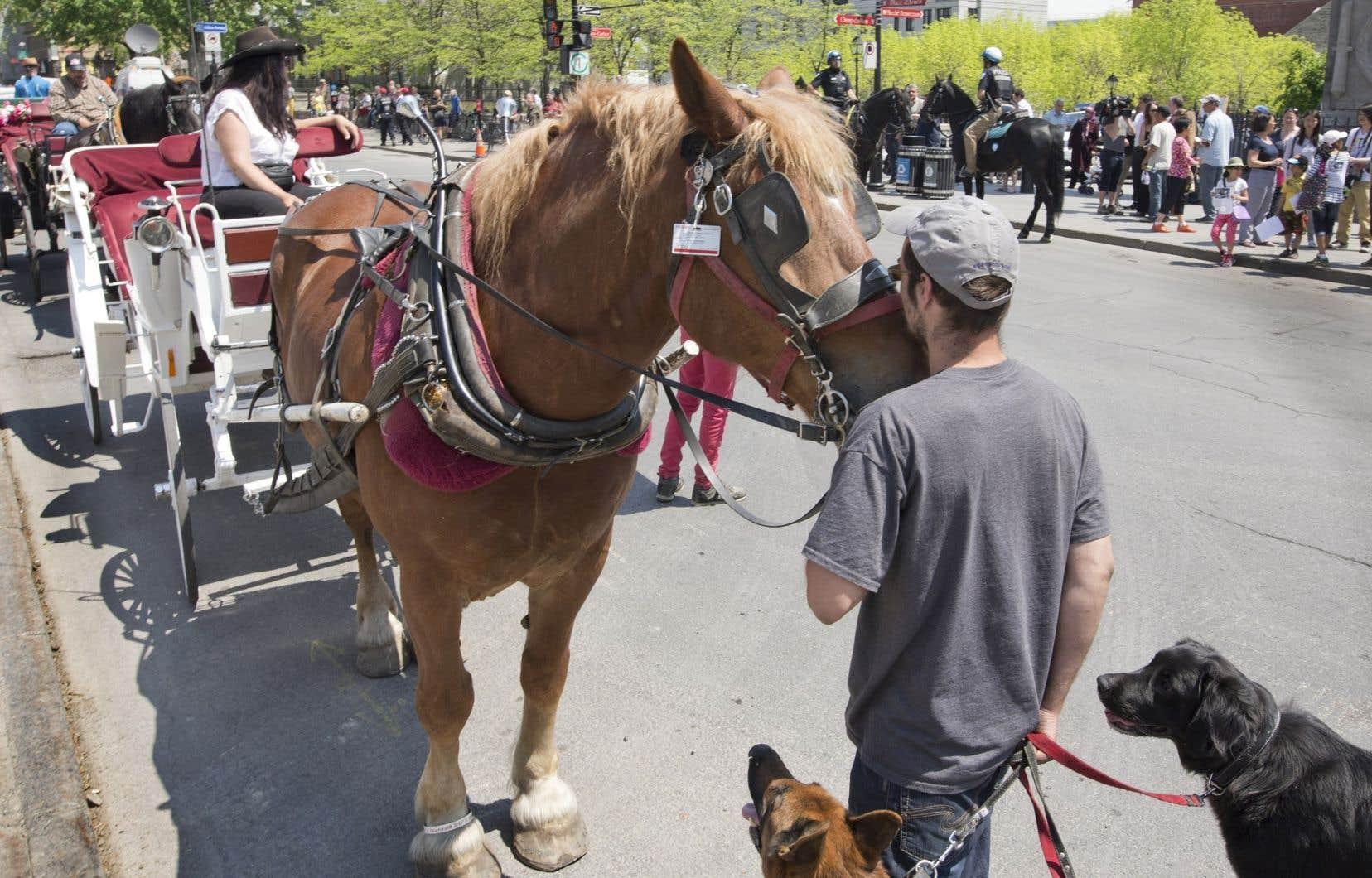 La Ville travaille en collaboration avec Emploi Québec afin d'aider la cinquantaine de caléchiersà trouver un nouvel emploi. Elle a aussi mis en place un programme pour éviter que des chevaux prennent le chemin de l'abattoir.