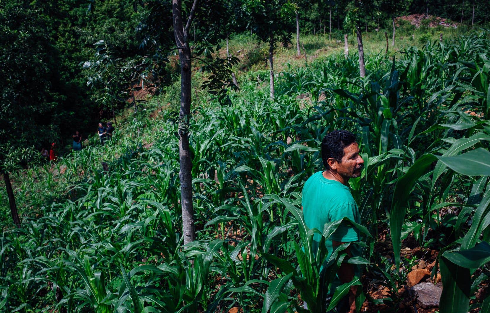 Dans le «corredor seco», les petits agriculteurs perdent régulièrement, en raison de la sécheresse, leurs récoltes dans une proportion facilement supérieure à 50%.