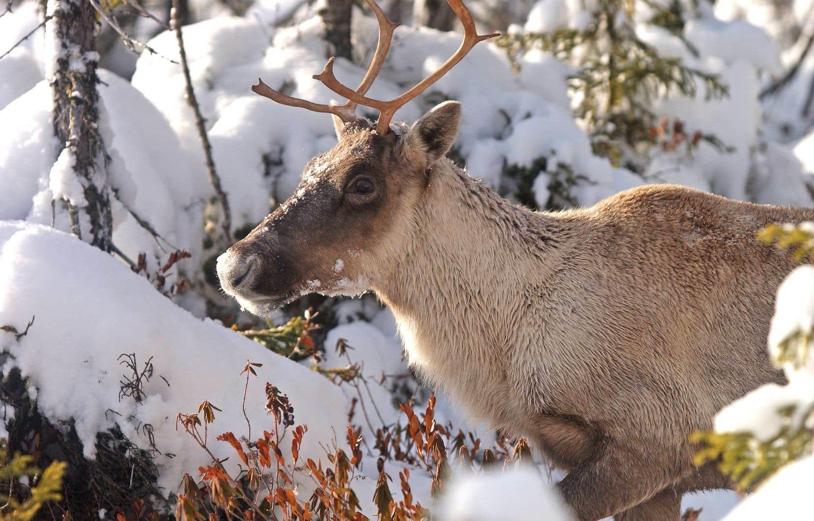 On estime la population de caribous forestiers à 6000 à 8500 individus au Québec.