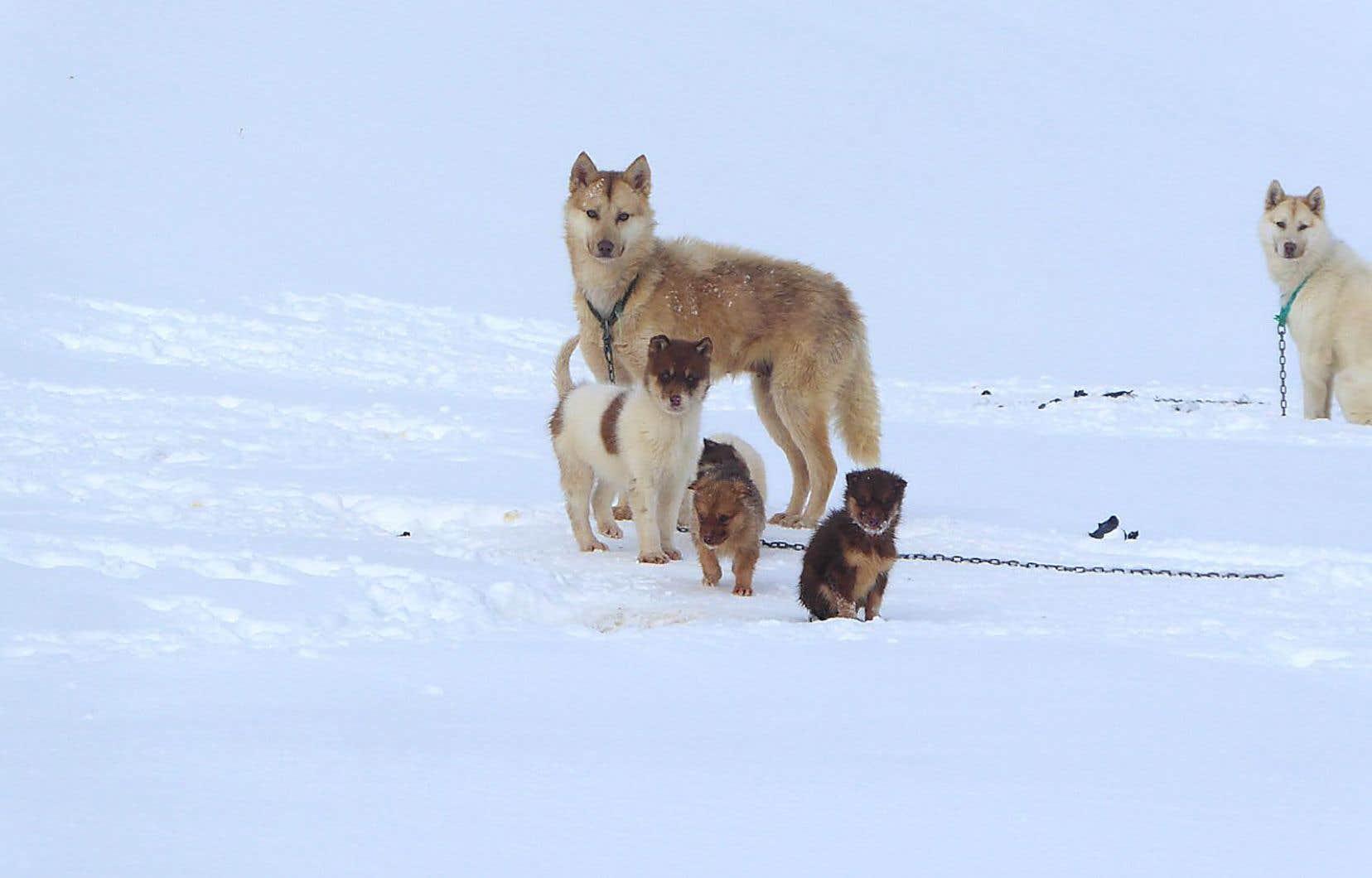 Les chercheurs ont pu voir que les chiens indigènes de l'Arctique nord-américain, soit les inuits canadiens actuels et les chiens de traîneau du Groenland d'aujourd'hui, sont clairement des descendants des chiens amenés par les Inuits, il y a 2000ans.