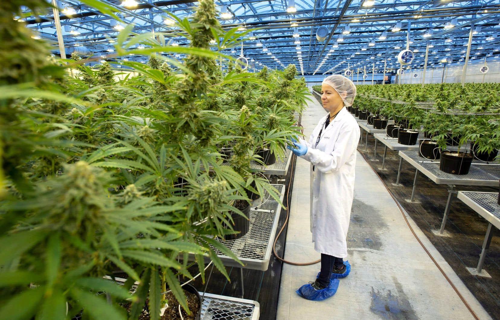 Le producteur de cannabis gatinois, principal fournisseur de la SQDC, avait annoncé en octobre qu'il devait procéder à 200 licenciements.