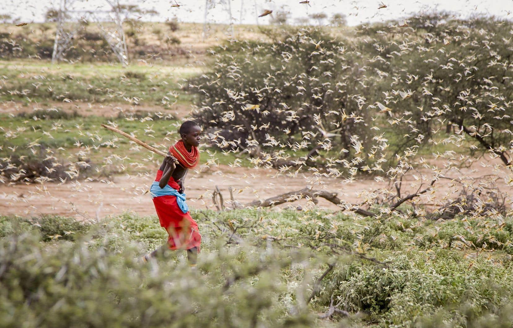 La FAO recherche d'urgence 70millions de dollars afin de renforcer la lutte antiparasitaire et de «protéger les moyens d'existence dans les trois pays les plus touchés», dont le Kenya (sur la photo).