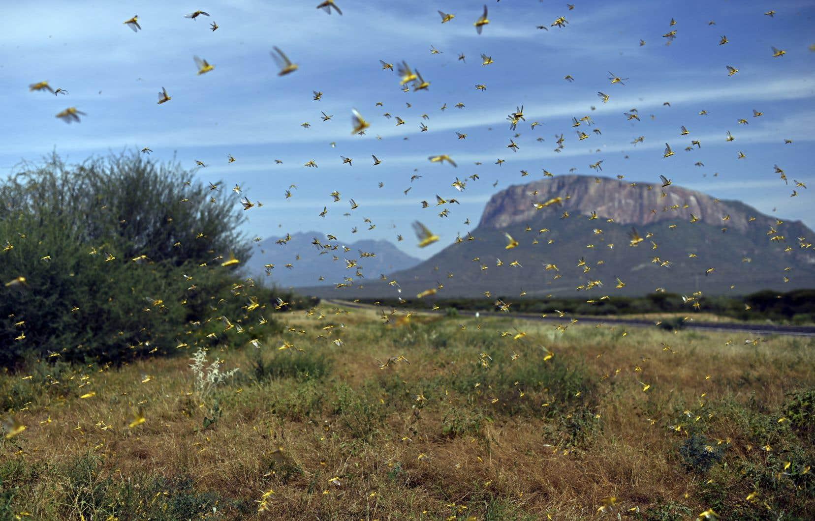 D'épais nuages de crickets affamés se sont répandus depuis l'Éthiopie et la Somalie jusqu'au Kenya.