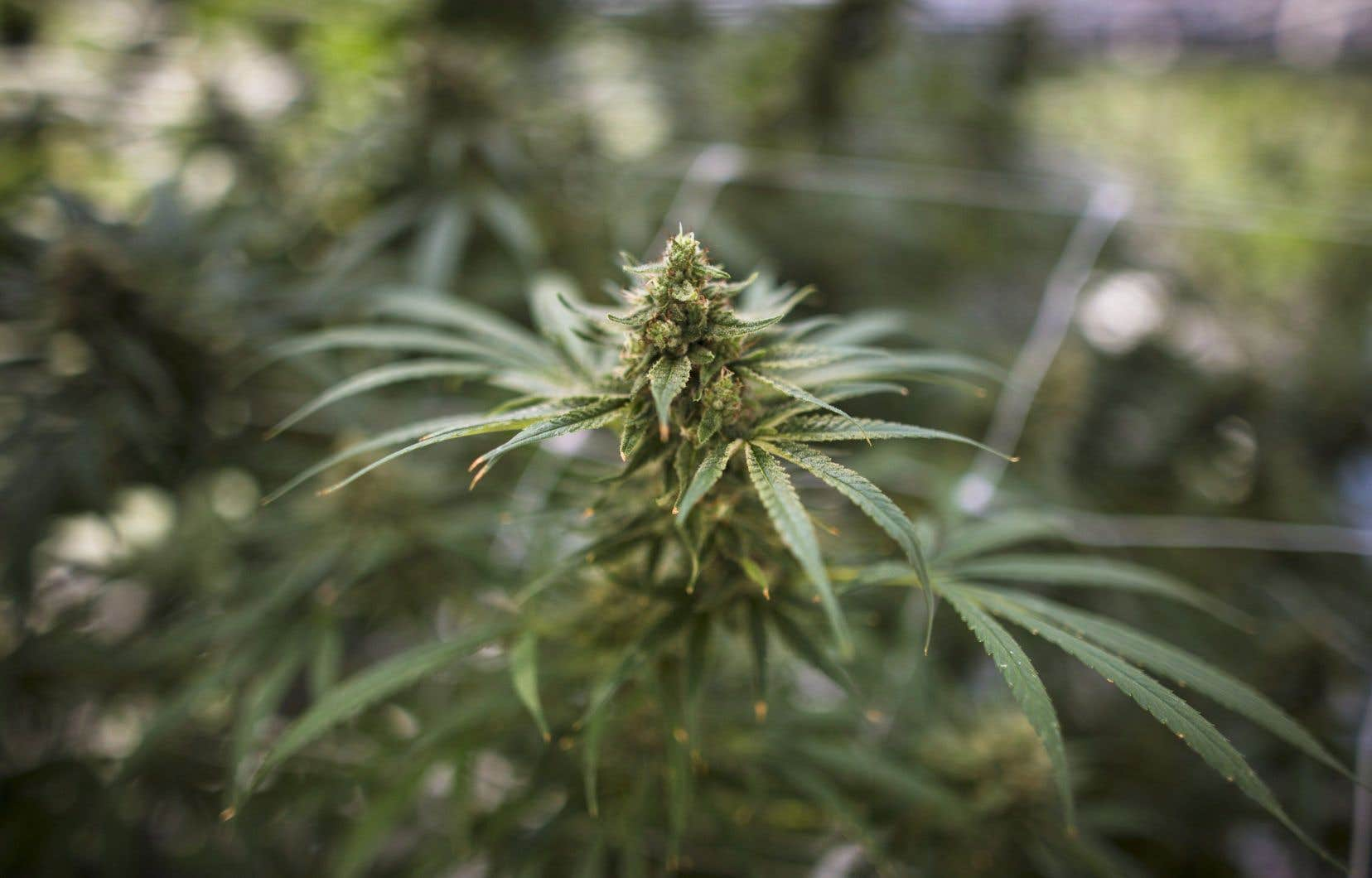 Israël a déjà donné son feu vert à l'exportation de cannabis médical, mais la production, la vente, l'achat et l'utilisation pour des usages récréatifs restent des infractions.