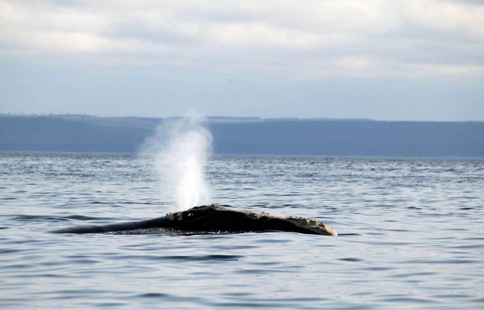 Depuis juin 2017, un nombre inhabituellement élevé de baleines noires sont mortes, ce qui a réduit la population de l'Atlantique Nord à environ 400 bêtes.