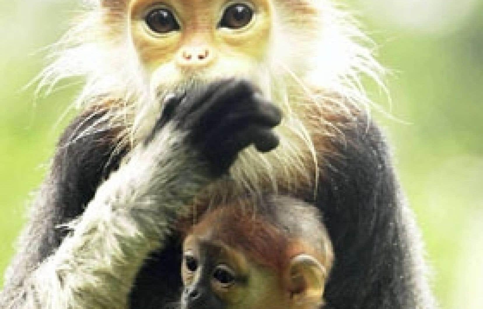 Les populations de primates asiatiques, comme cette femelle langur et son petit, ont baissé à cause de la chasse, destinée à répondre aux besoins d'alimentation, mais aussi à la demande commerciale pour la médecine traditionnelle chinoise et les