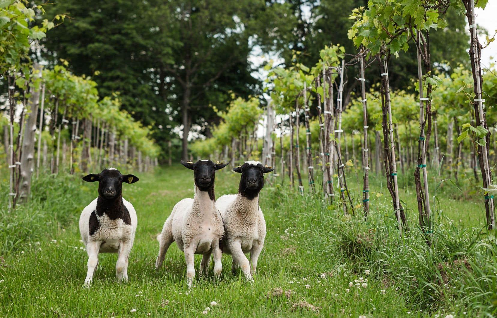 Les moutons du Vignoble de la Bauge, en Estrie