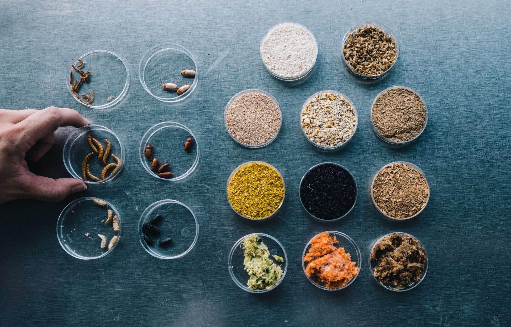 La ferme TriCycle nourrissent leurs insectes avec des résidus industriels pour diminuer la pollution due aux productions de céréales utilisées d'ordinaire pour leur alimentation.