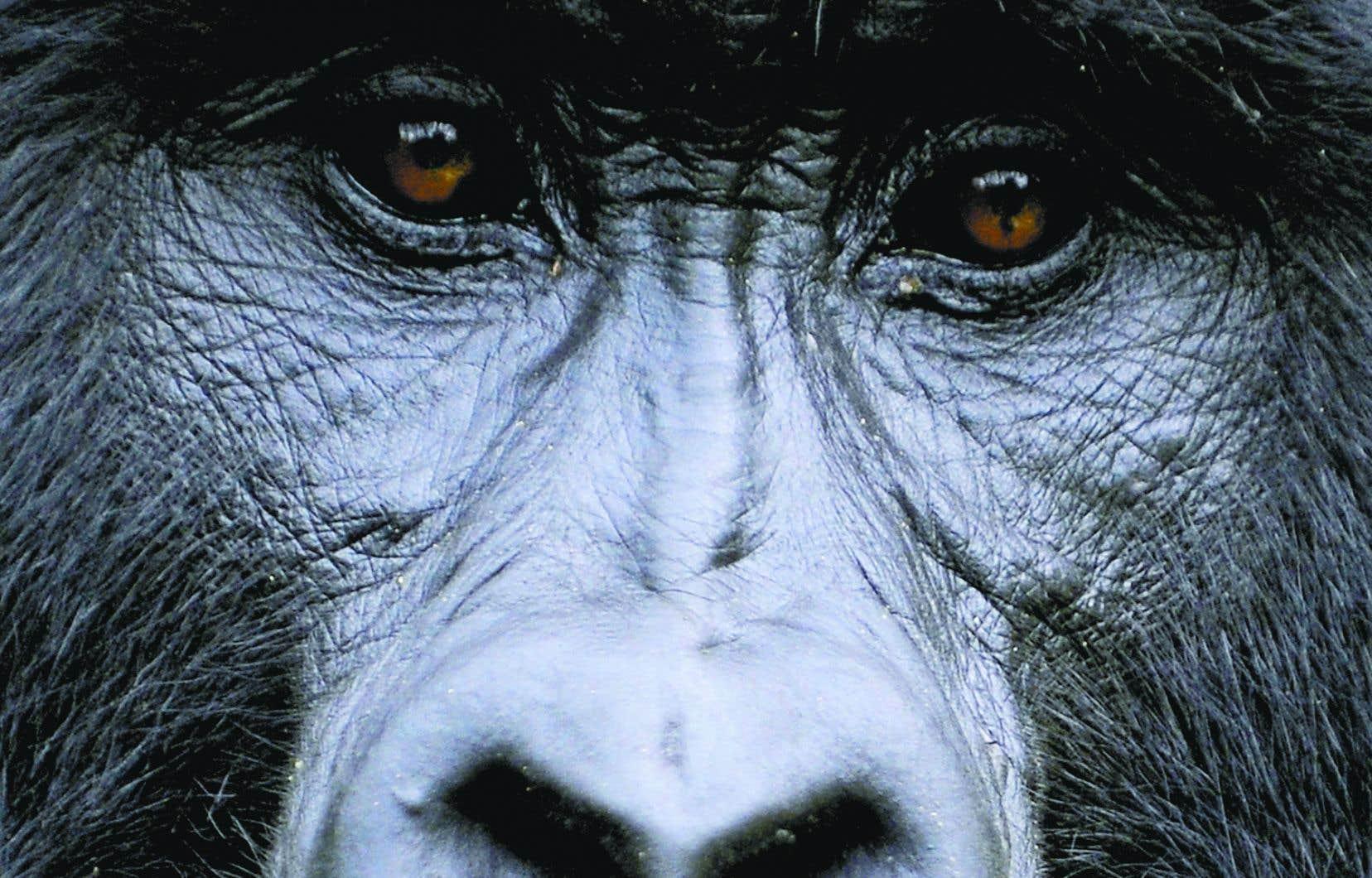 <p>Le gorille est déjà sévèrement menacé et classé «en danger critique d'extinction» par l'Union internationale pour la conservation de la nature.</p>