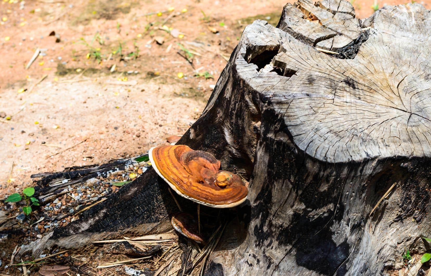Un champignon Trametes versicolor. Selon le chercheur David Dussault, la mycoremédiation permet de diminuer les coûts reliés à l'enfouissement des déchets.