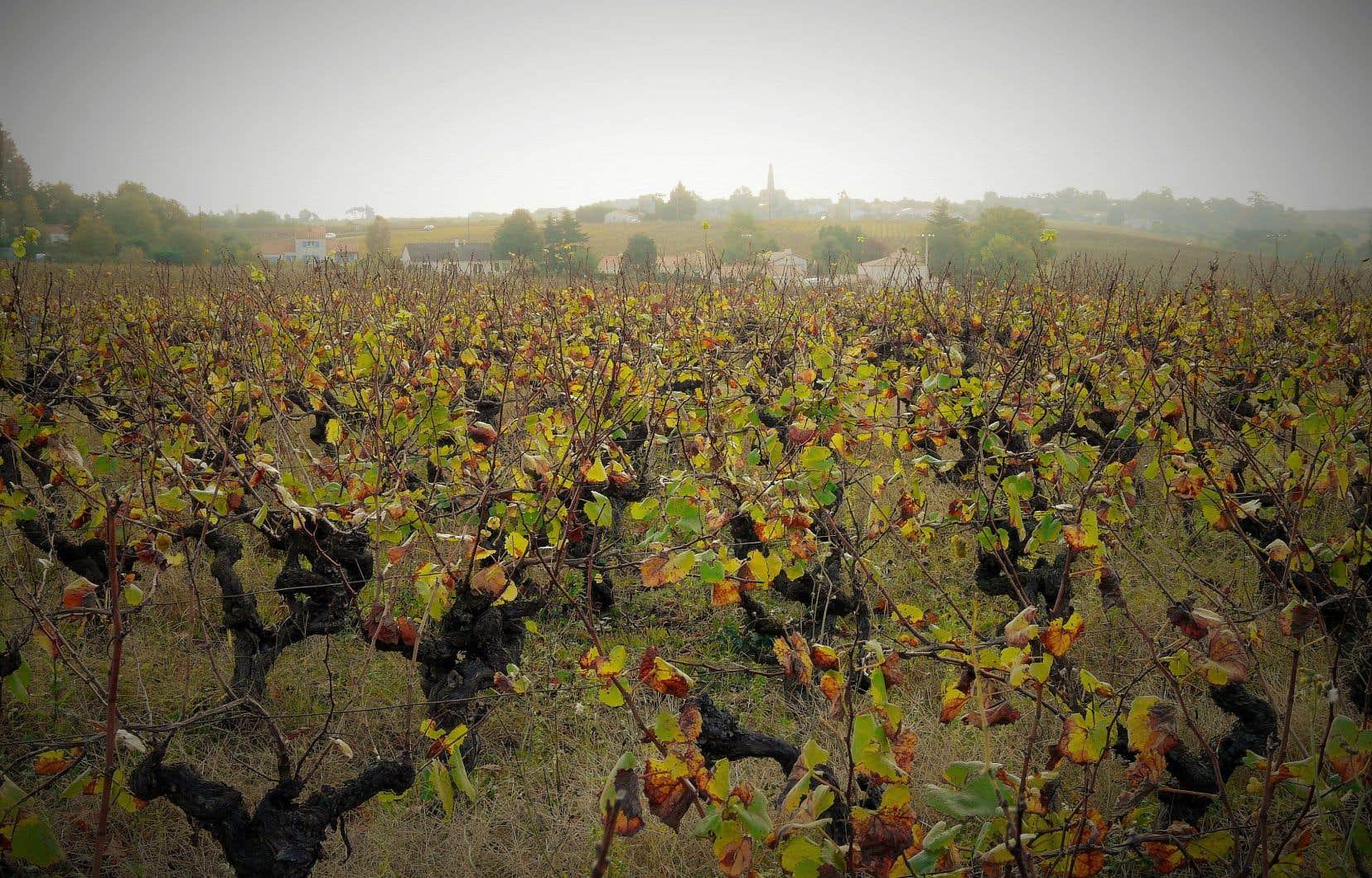 Vieilles vignes de melon au château du Coing de Saint-Fiacre