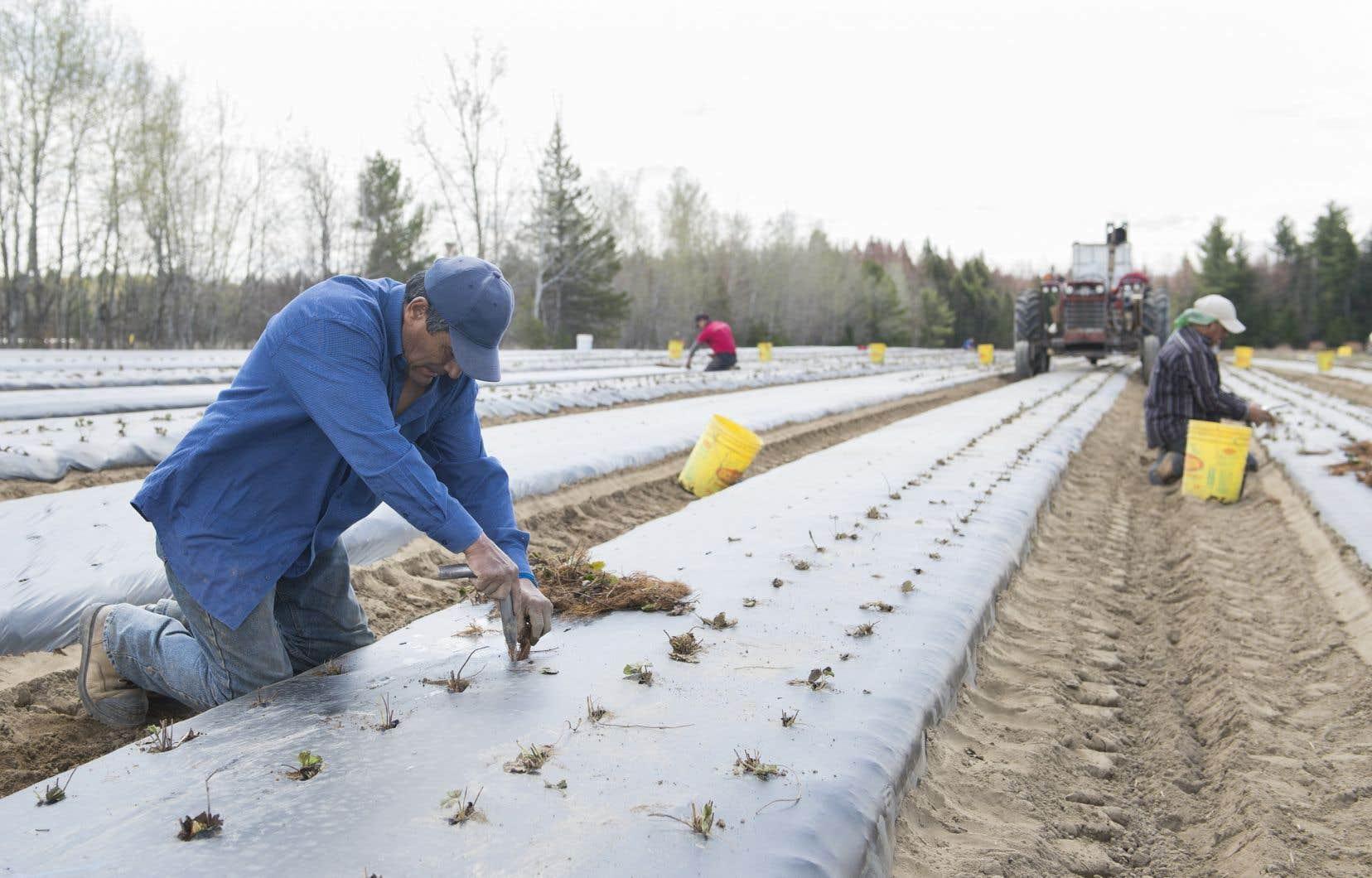 Des travailleurs mexicains plantent des fraisiers dans une ferme de Mirabel, le mercredi 6 mai 2020.