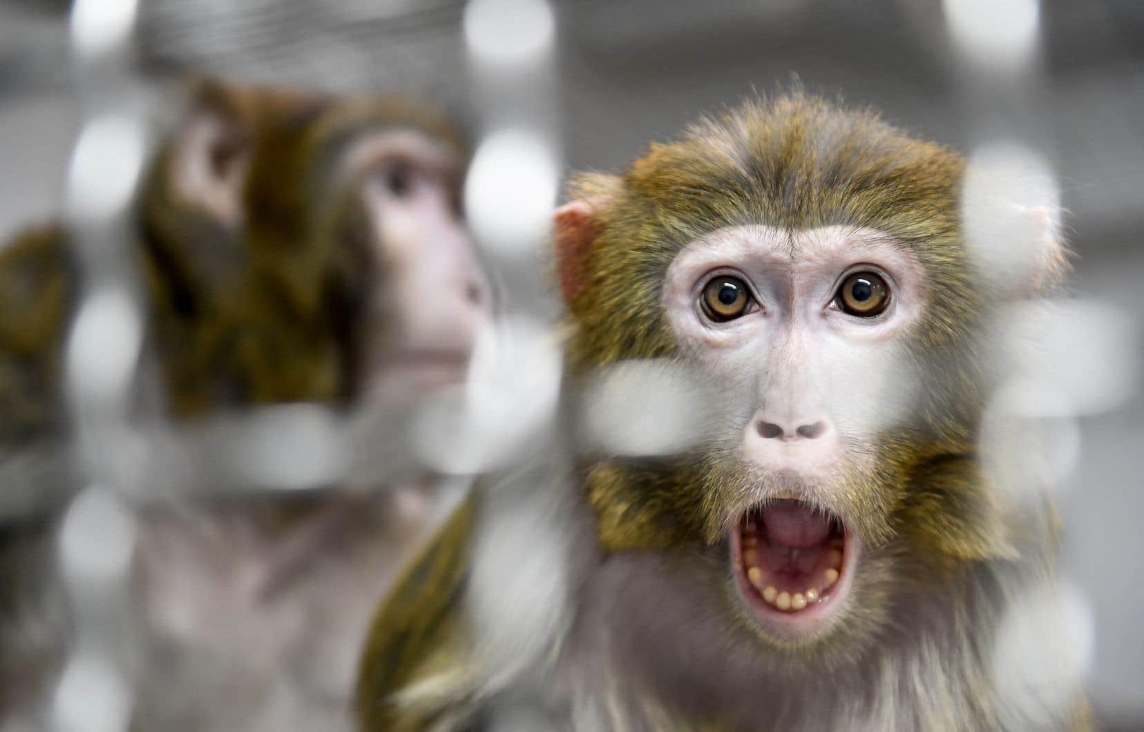 Les chercheurs ont injecté le SRAS-CoV-2 à neuf macaques rhésus.