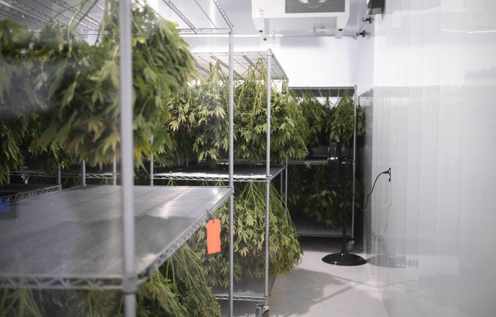 Les extraits de cannabis utilisés n'ont cependant rien à voir avec le cannabis disponible sur le marché.