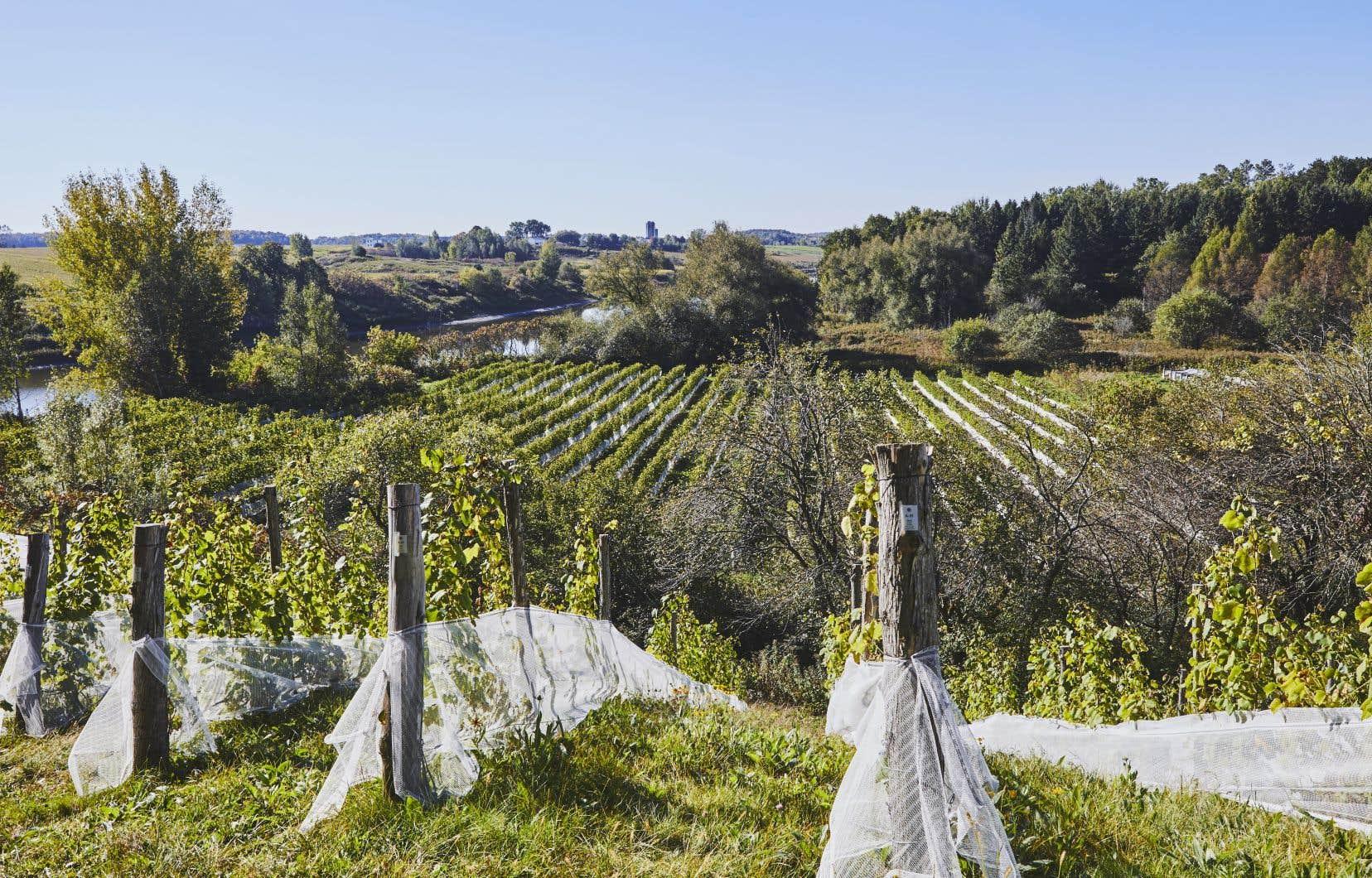 Les vignes du Domaine du Nival, situé en bordure de la Yamaska