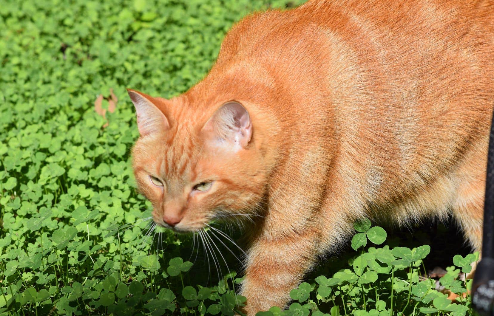 Les données scientifiques actuellement disponibles n'indiquent toujours pas de risque de transmission directe du coronavirus du chat à l'humain.