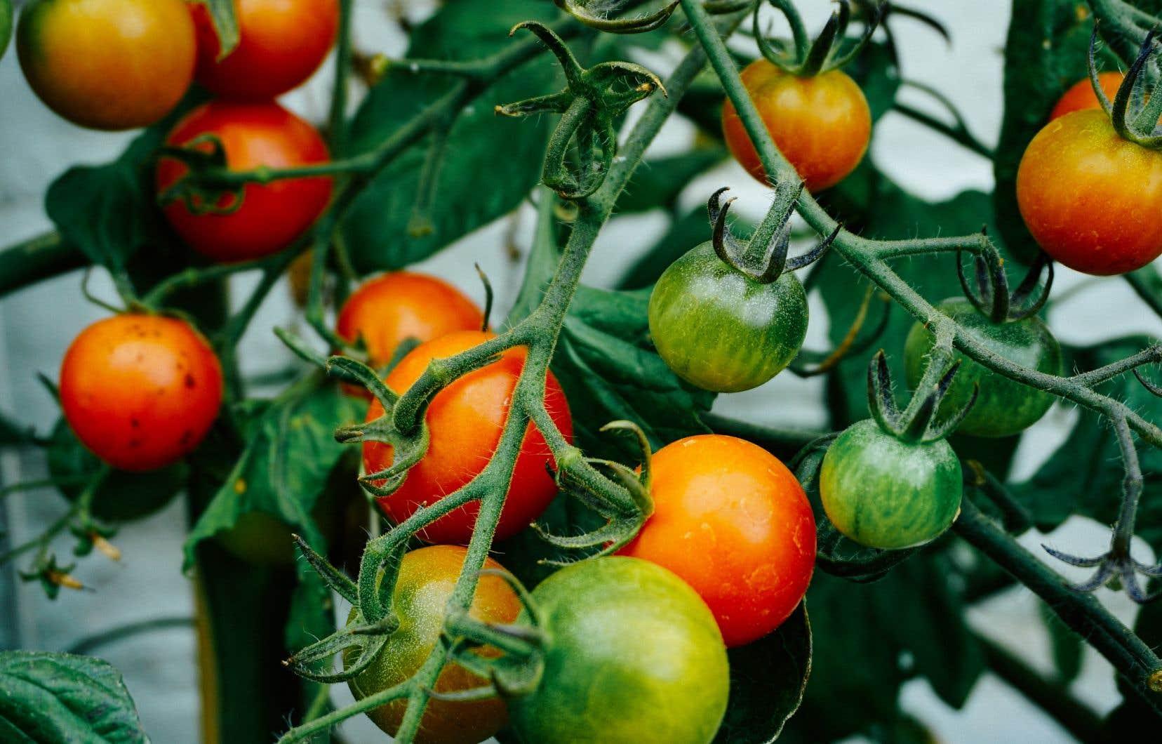Enlever les gourmands fait en sorte que le plant est moins dense, qu'il a une meilleure aération, ce qui est bon pour contrer les maladies.