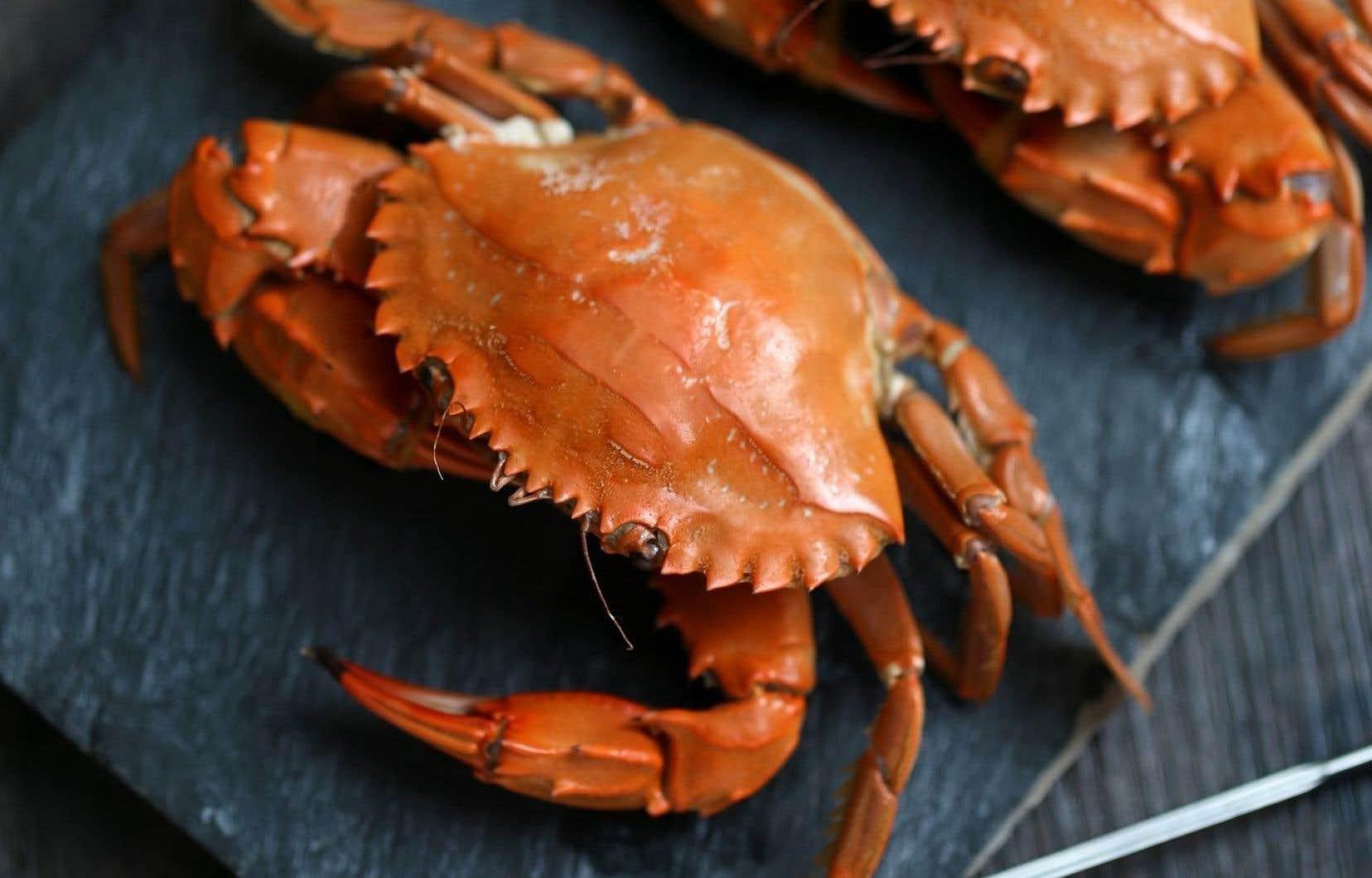 Le crabe commun est reconnaissable à sa carapace aplatie de forme plutôt ovale d'un brun rougeâtre brodée de dents sur sa face antérieure.