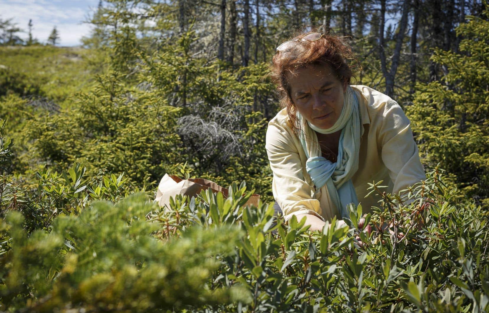 Annick Latreille cueille du thé du Labrador, qui sera ensuite transformé en gelée ou en produit pour le corps.