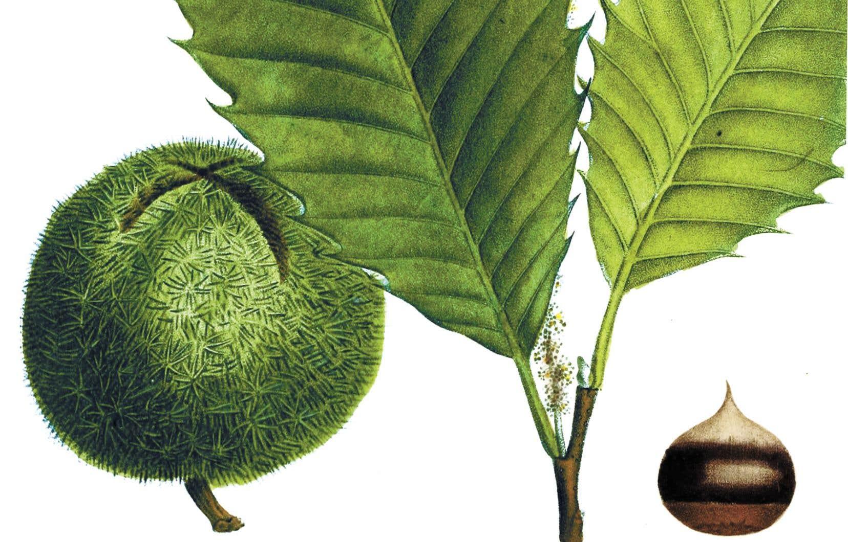 Le châtaignier américain («Castanea dentata»), illustration tirée d'«Histoire des arbres forestiers de l'Amérique septentrionale», de François André Michaux