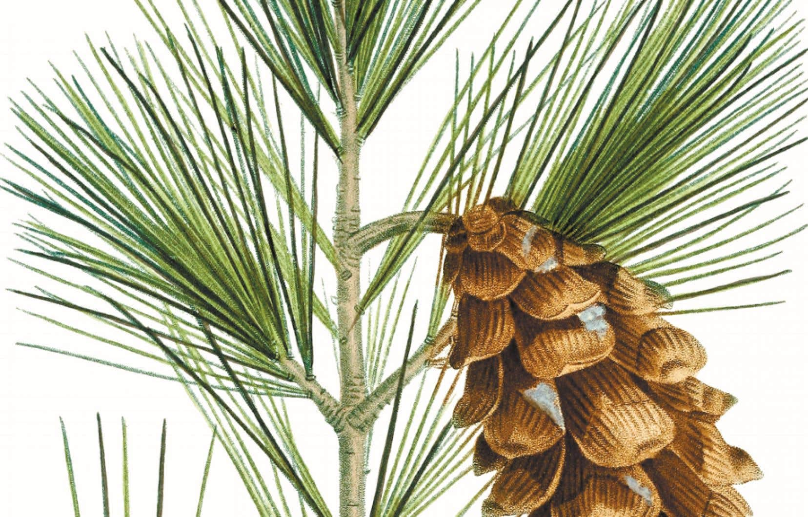 Le pin blanc («Pinus strobus»). Illustration tirée d'«Histoire des arbres forestiers de l'Amérique septentionale», de François André Michaux.
