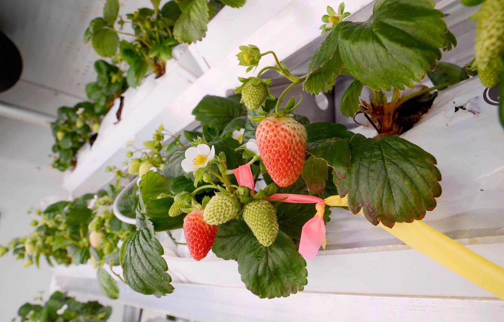 Circuler dans cet environnement artificiel qu'est La Ferme d'hiver revient à longer des murs de fraisiers.