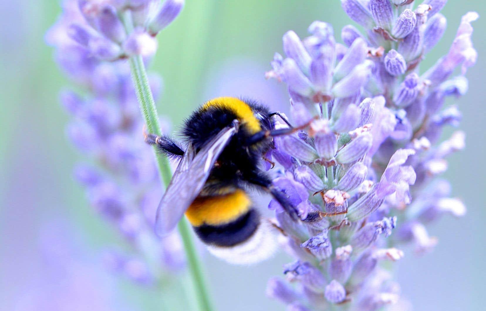Pour aider les pollinisateurs, pourquoi ne pas laisser fleurir de la lavande ou dans son jardin sur son balcon?