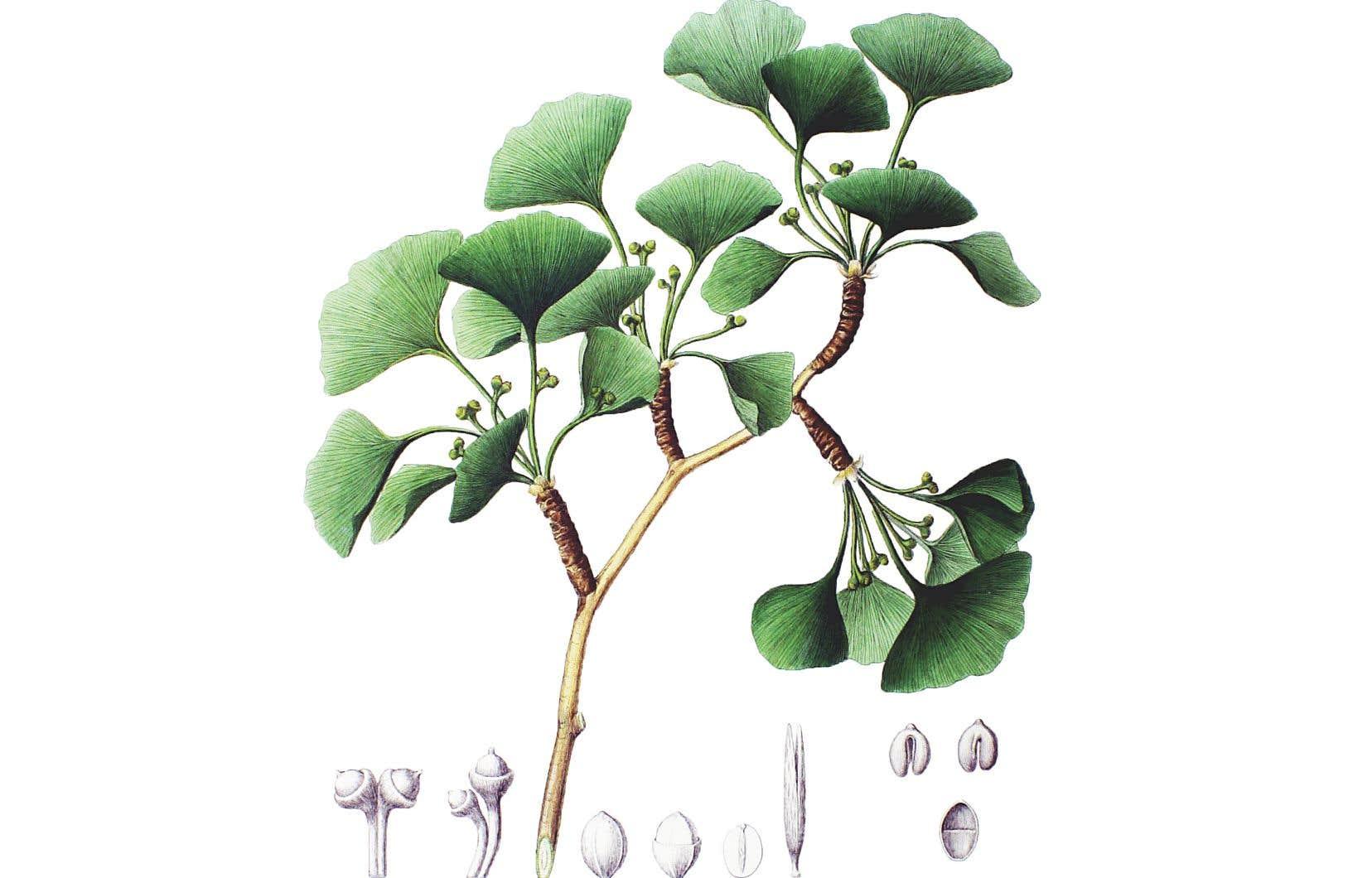 Le ginkgo biloba («Salisburia adiantifolia»). Illustration tirée de «Flora Japonica, Sectio Prima», de Philipp Franz von Siebold et Joseph Gerhard Zuccarini.