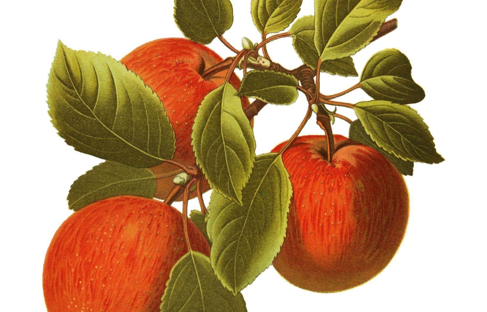 Sur plus de 200 variétés de pommes susceptibles de croître sur les rives du Saint-Laurent, nous n'en connaissons plus, au mieux, que quelques-unes, à peu près toujours les mêmes.