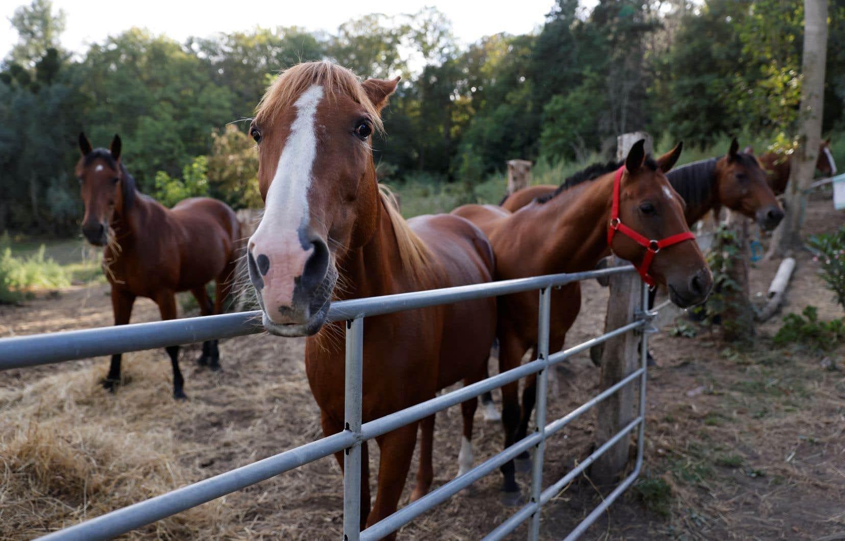 Depuis plusieurs mois, des chevaux et des poneys sont victimes de mutilations dans une vingtaine de départements français, selon les enquêteurs de la gendarmerie.