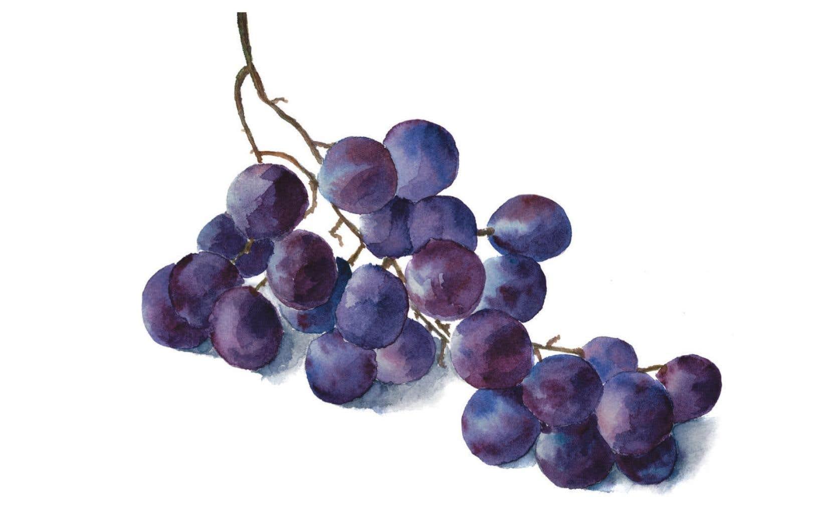 Juteux et savoureux, le raisin Concord est un plaisir éphémère.