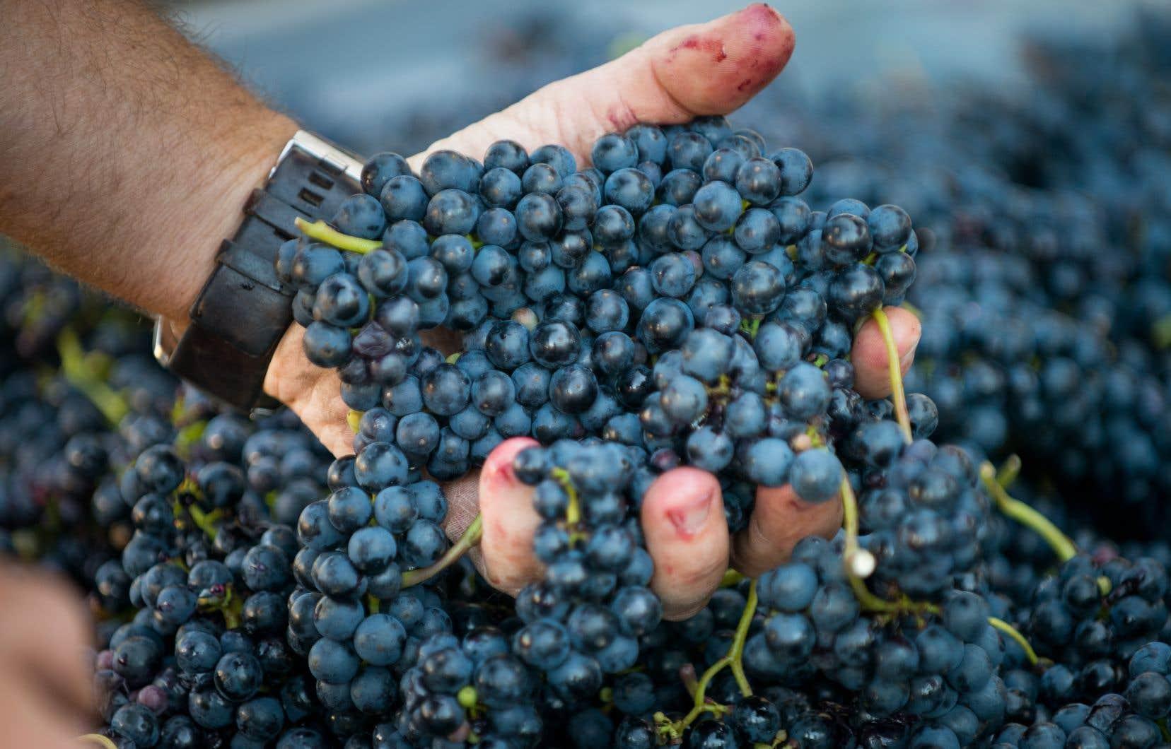 Le Vignoble de la rivière du Chêne, dans les Basses-Laurentides, offre un merveilleux cadre pour s'initier à la cueillette de raisins.