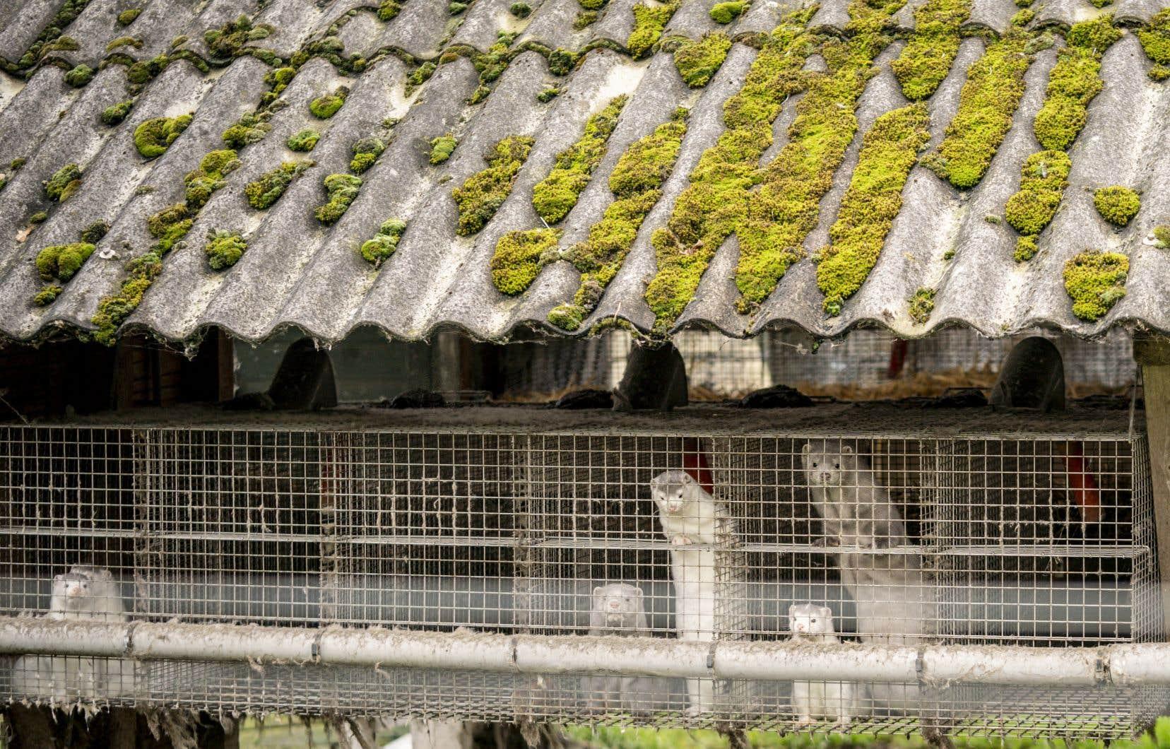 Le Danemark va abattre la totalité des visons élevés sur son territoire à cause d'une mutation du nouveau coronavirus.