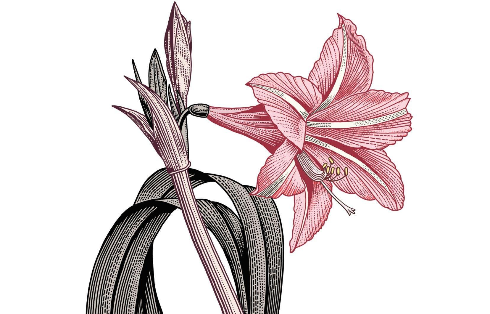 Avec ses longues tiges surmontées d'énormes fleurs en forme de trompette, l'amaryllis donne instantanément un air de fête à la maison.