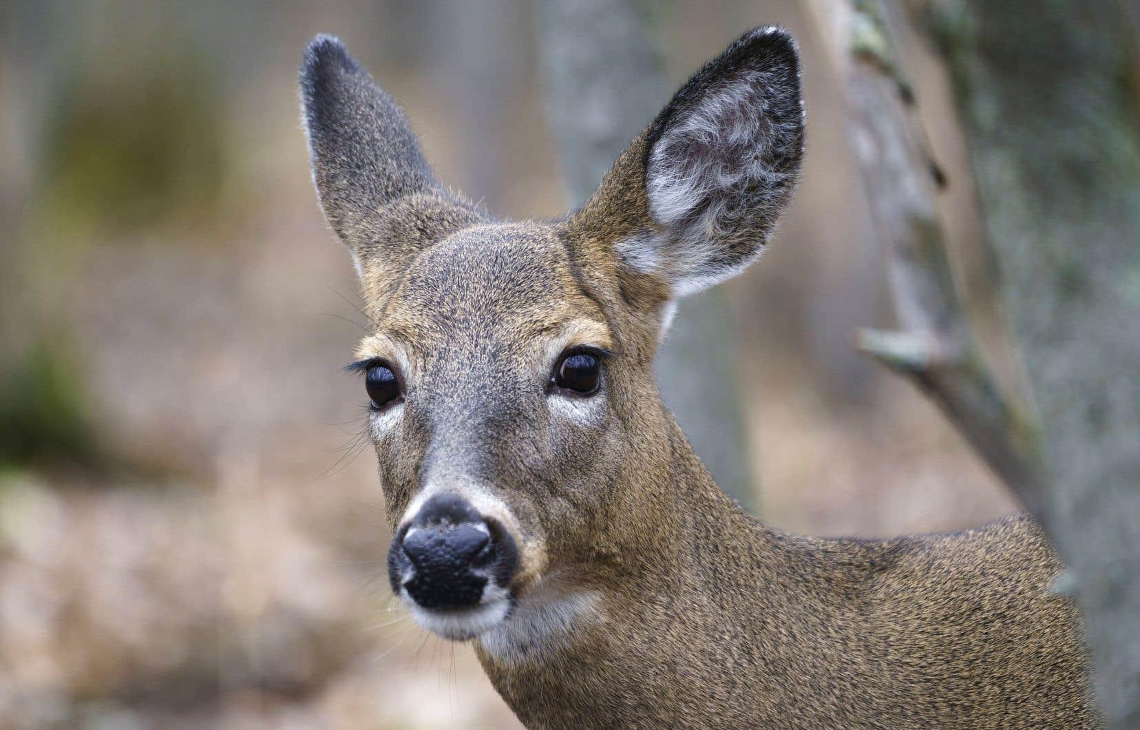 Les cerfs menacent non seulement la régénération de la végétation, mais aussi les habitats d'autres espèces animales, comme les oiseaux. Sur la photo, un cerf de Virginie dans le parc Michel-Chartrand, à Longueuil.
