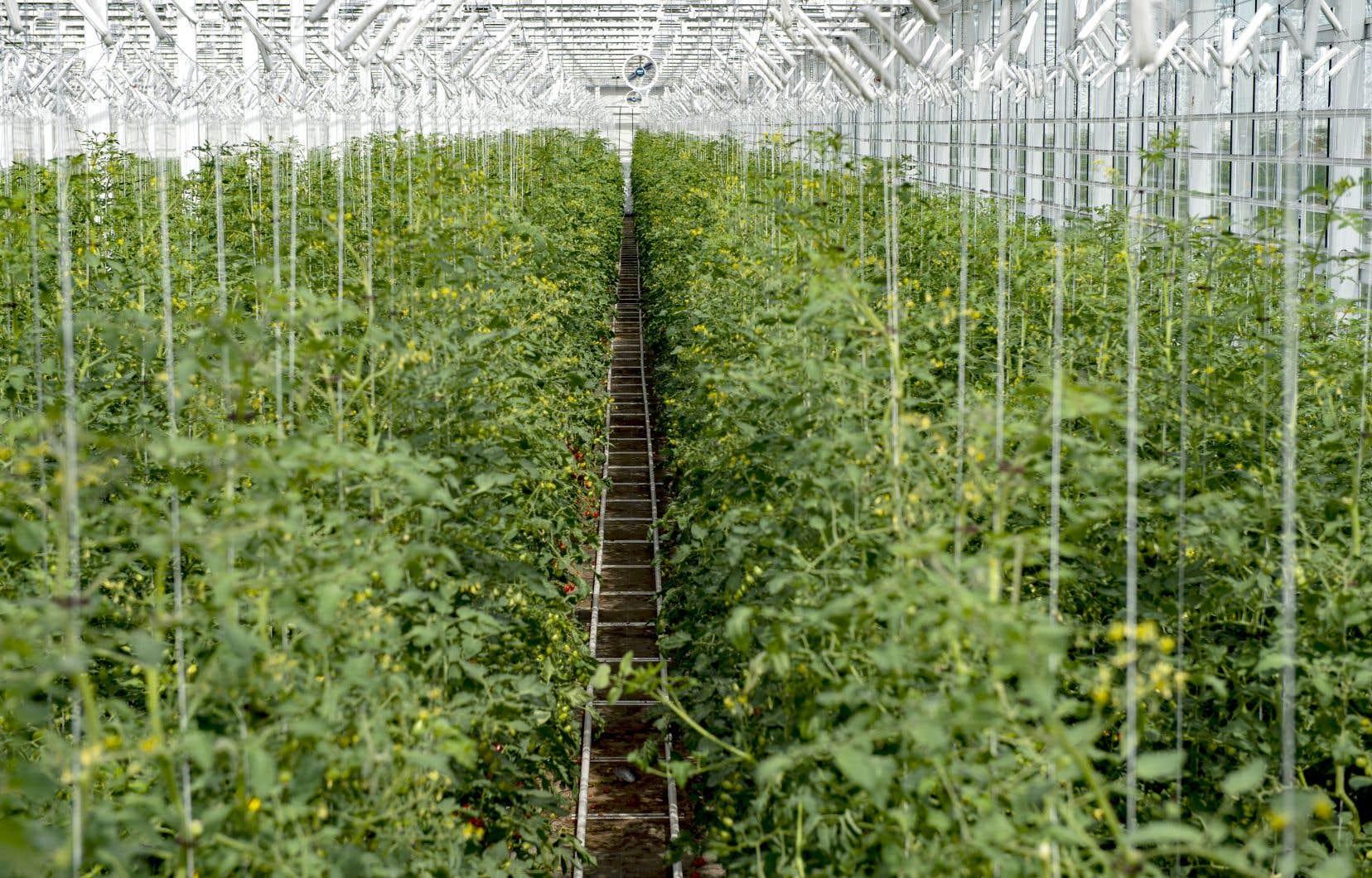 Le nouveau Programme de soutien au développement des entreprises serricoles pourra couvrir jusqu'à 50% des frais d'agrandissement et d'amélioration de serres, jusqu'à concurrence de 600 000$ par demandeur.