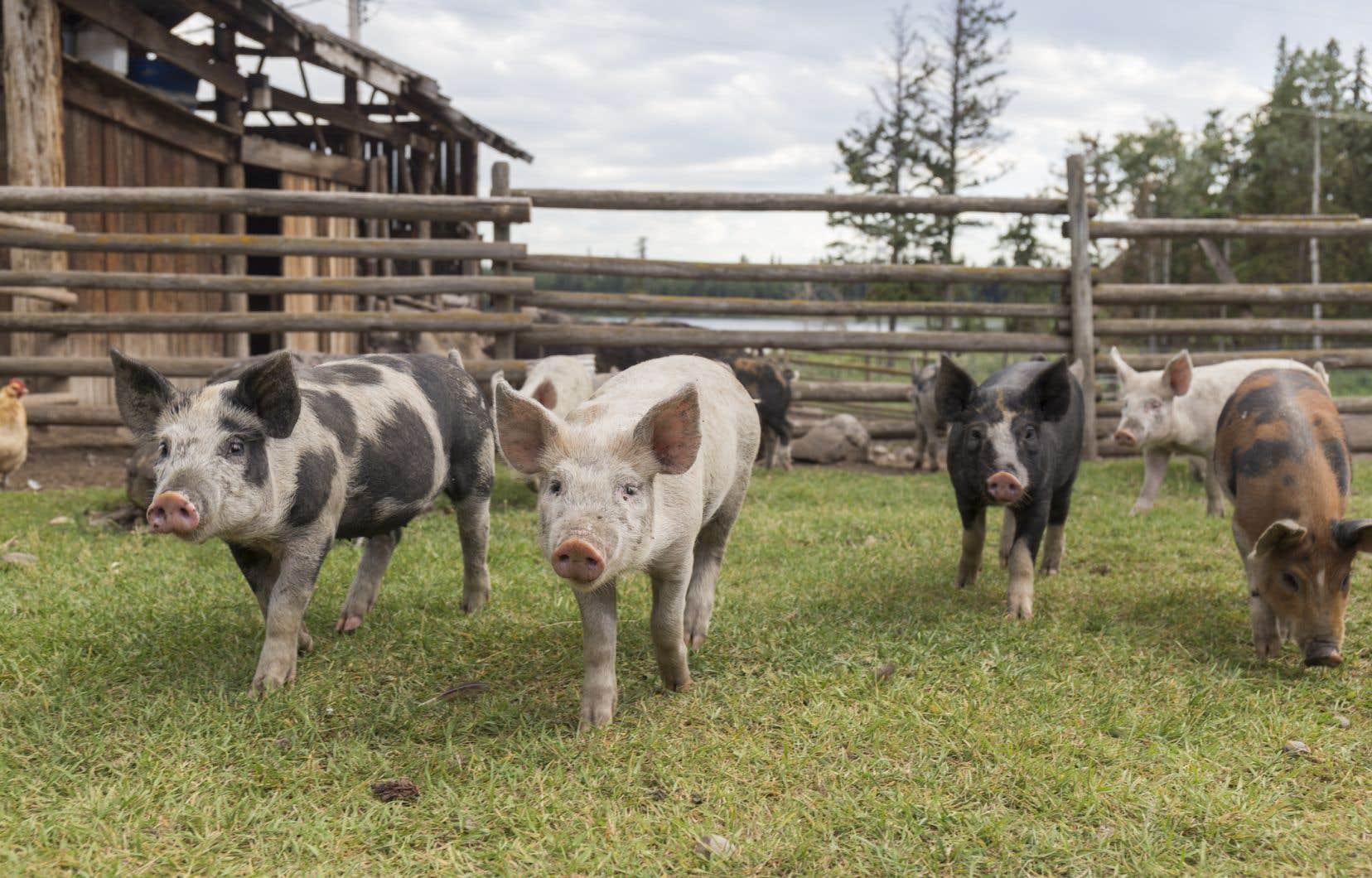 Les Éleveurs de porcs du Québec pensent eux aussi que l'accroissement de l'autonomie alimentaire est compatible avec un soutien financier «soutenu» aux filières exportatrices.