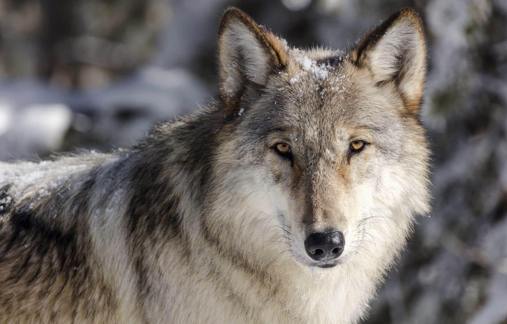 «On a remarqué que la réintroduction du loup dans le mythique parc national Yellowstone, aux États-Unis, a eu des effets bénéfiques sur l'ensemble de ce vaste écosystème», écritPierre Chastenay.