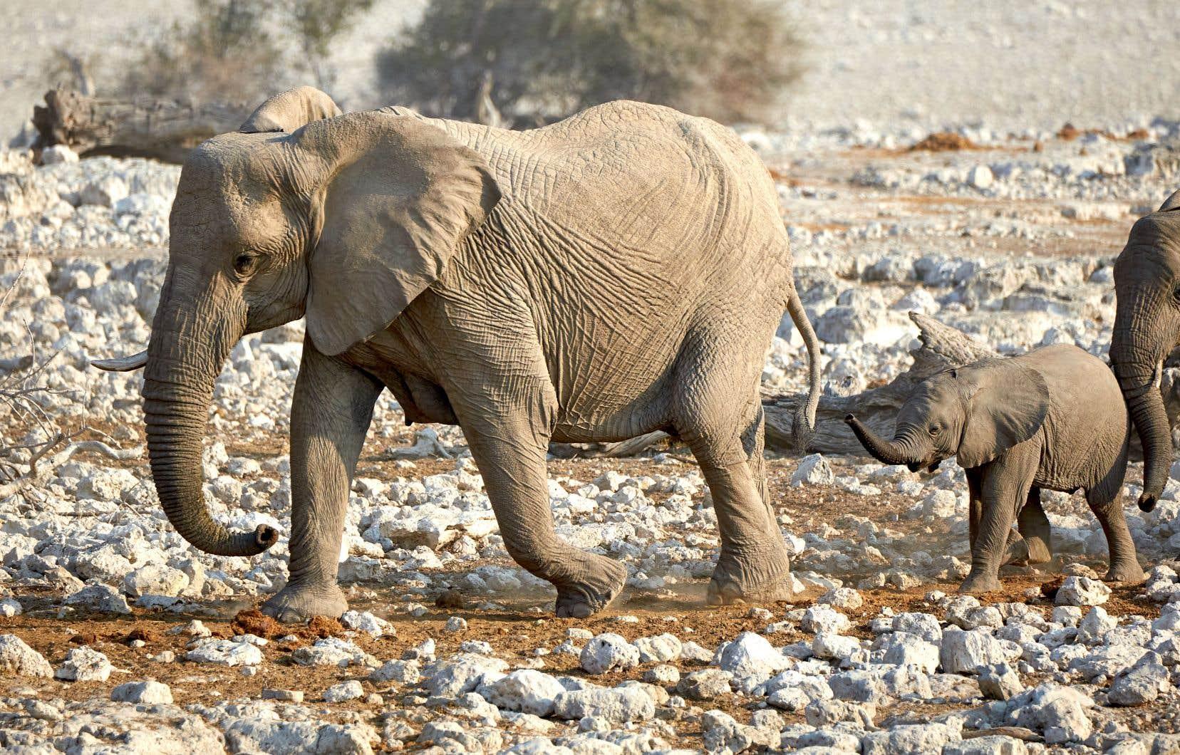 Pays semi-aride et peu peuplé d'Afrique australe, la Namibie abrite quelque 28000 pachydermes.
