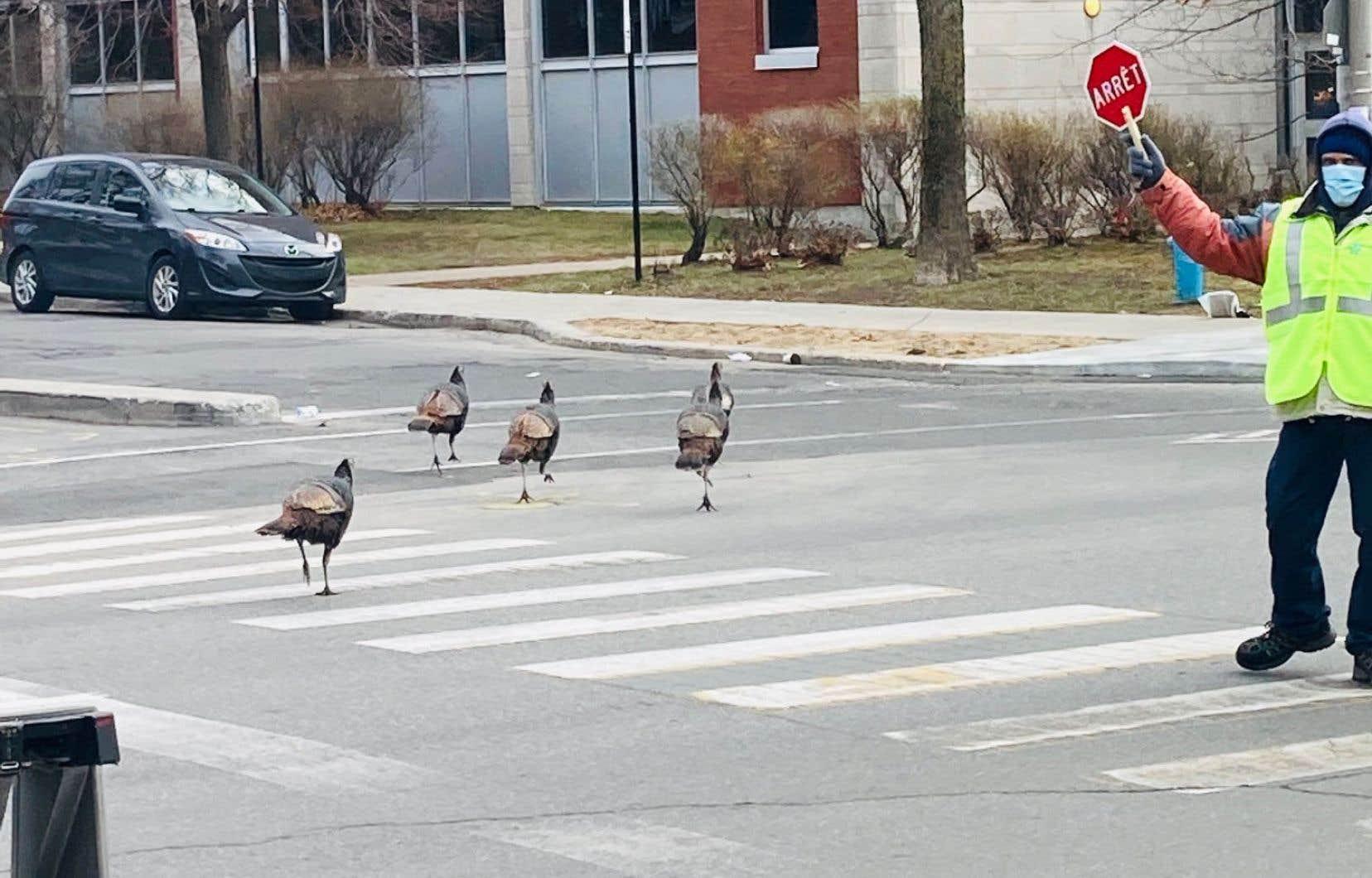 Au rayon des oiseaux en progression figure le dindon sauvage dont les signalements se sont multipliés au cours des dernières années dans les rues de Montréal, notamment dans Ahuntsic, Villeray et Rosemont.