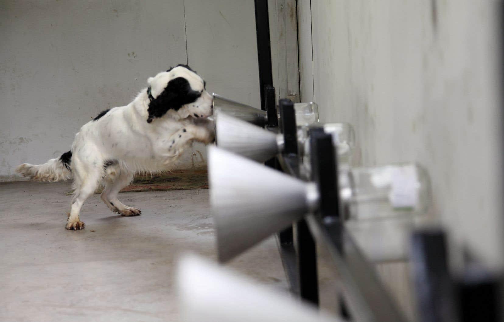 Une escouade canine de  détection de la COVID-19 est en formation à l'Université de Montréal et pourrait devenir opérationnelle autour du  printemps 2021.